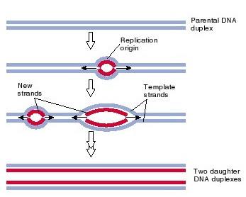 pembelahan DNA, replication origin, origin of replication