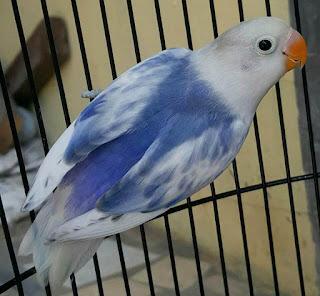 lovebird bs, lovebird blorok