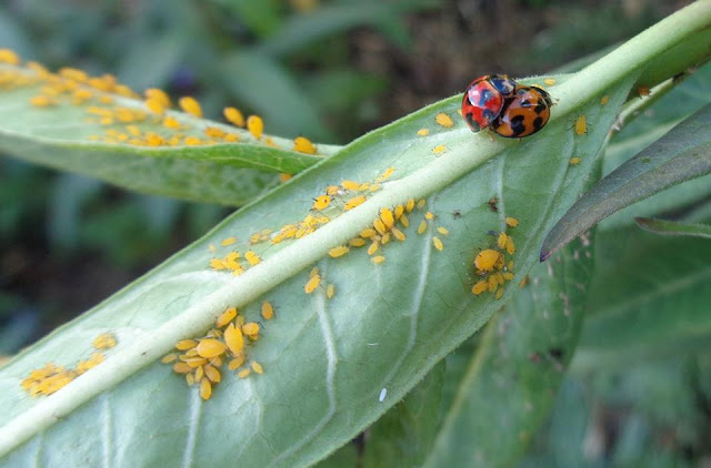 Ladybug and Aphids on Milkweed
