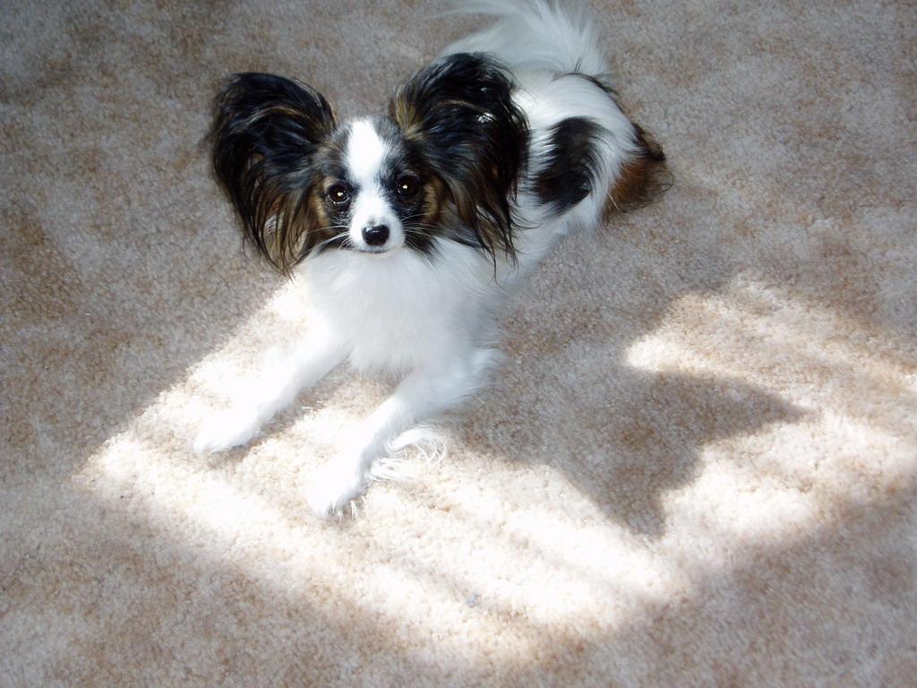 Data refer : http://en.wikipedia.org/wiki/Papillon_(dog)