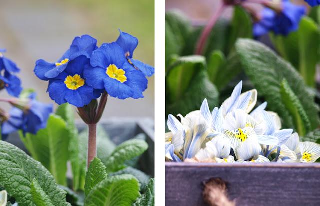 Blå våriris og primula