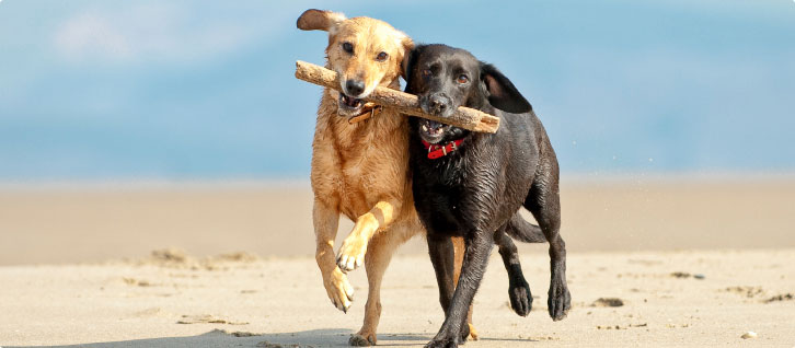 Two wet dogs on the beach carry a stick together