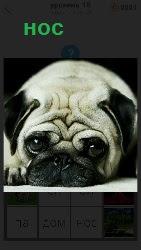 На изображении показана порода собаки мопс, лежащего с большими складками на голове. На переднем плане большой нос