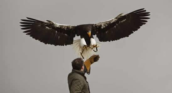 pigargo de Steller y un halconero