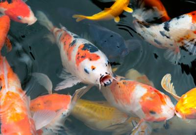 Koi Pond Kits - 3 Reasons to Choose a Kit For Your Koi Fish Pond