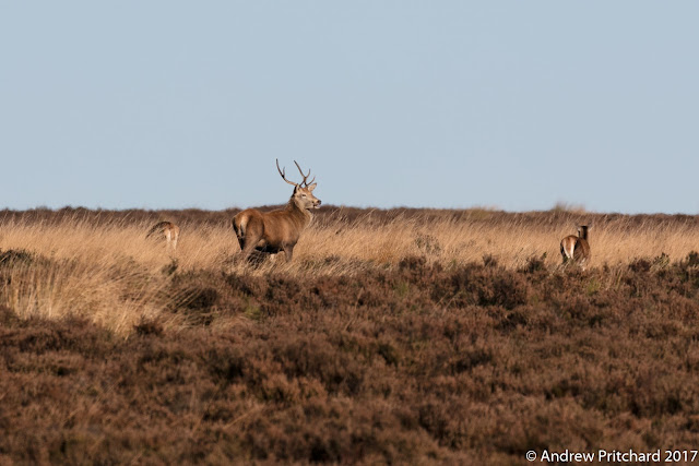 A small group of deer with a young stag graze on yellow grass between stands of heather.