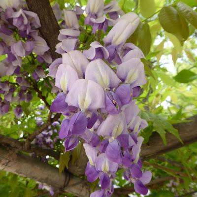 下福島公園の藤の花 のだふじ