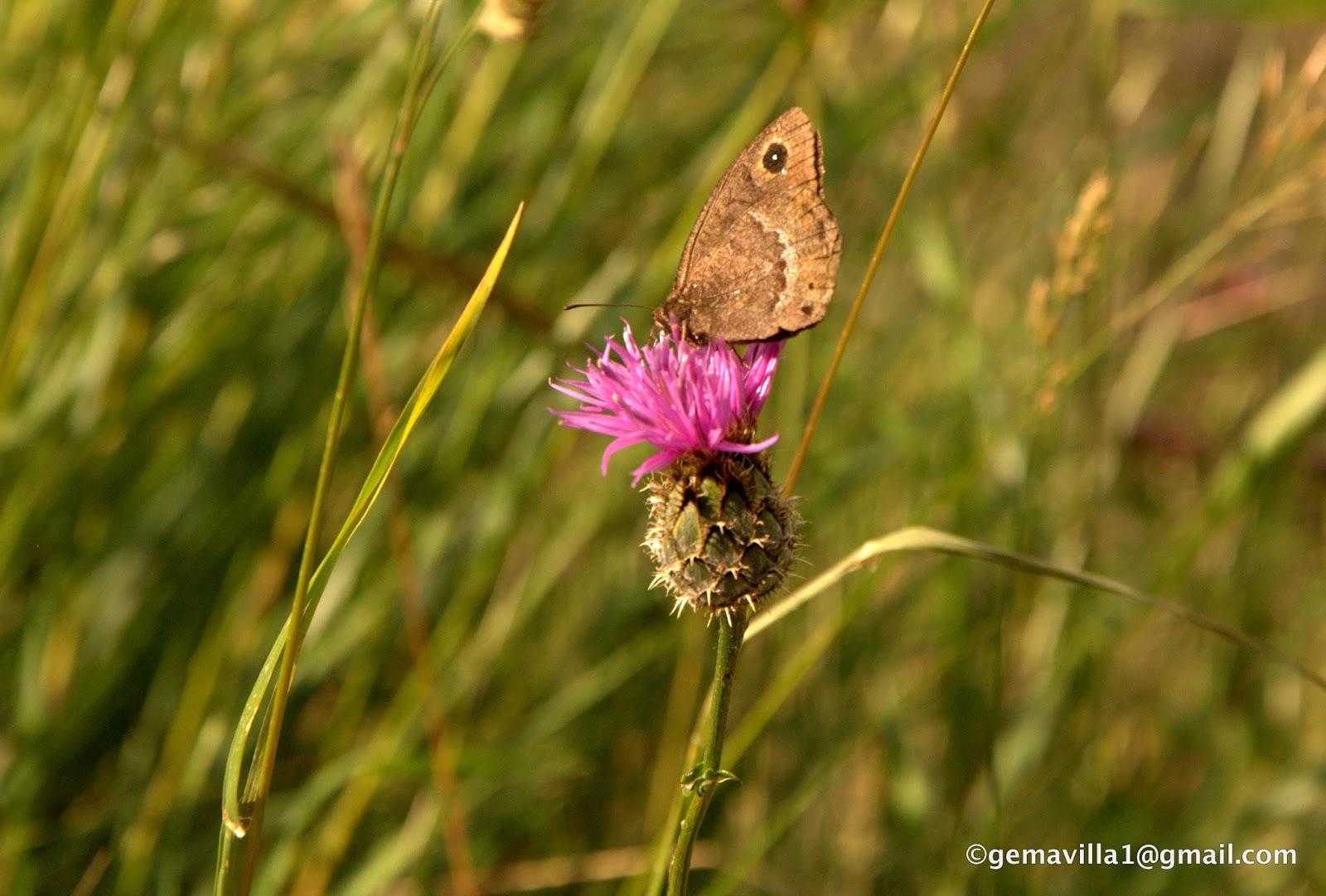 De Flores En La Montana: ACIANO DE MONTAÑA – Centaurea Montana