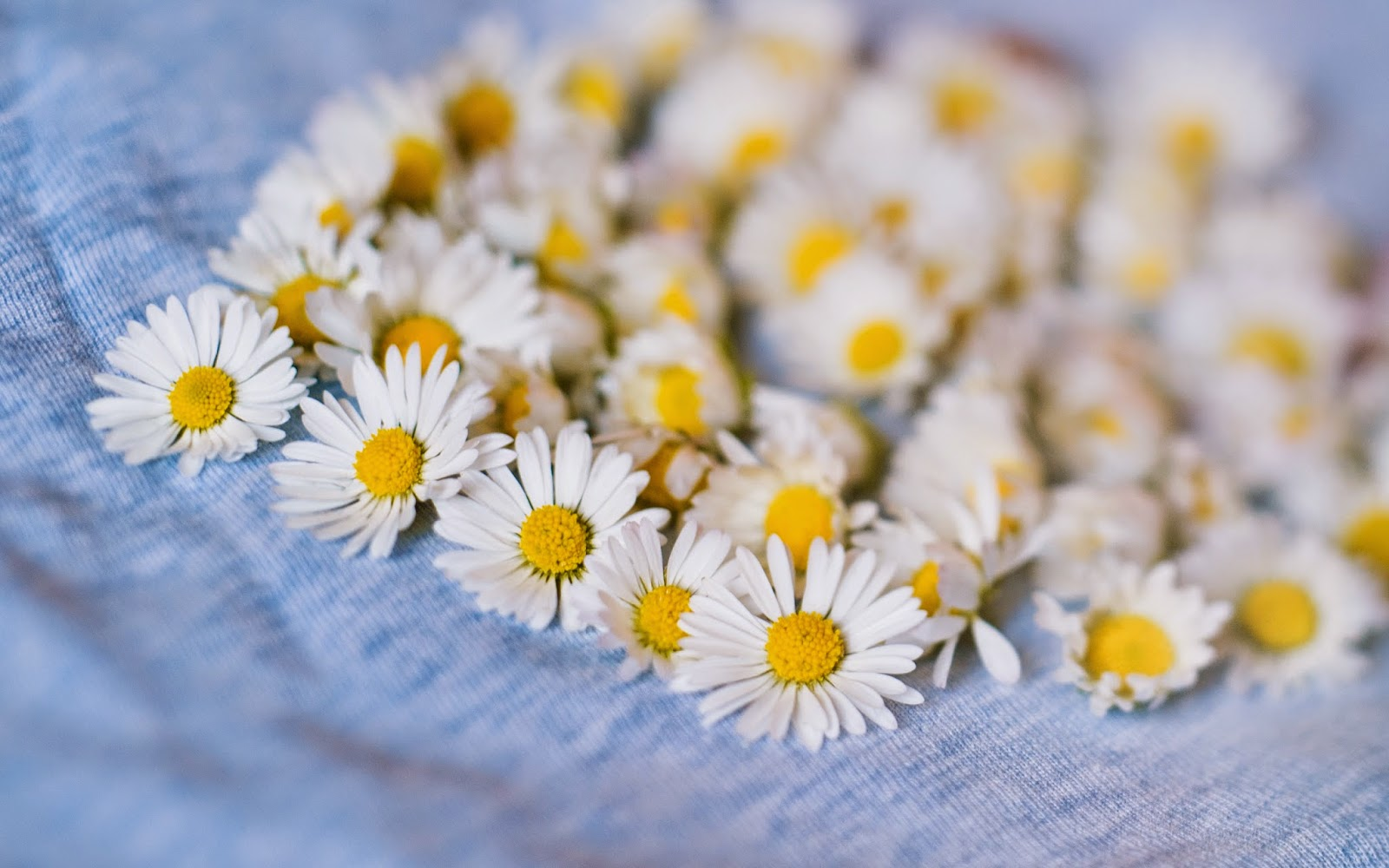 Daisy-flowers-wallpapers-for-desktop-Mac-PC.jpg