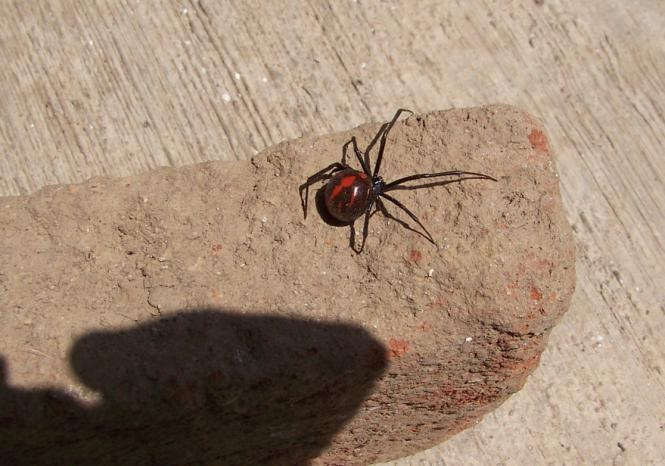 are black widow spiders deadly - 665×466