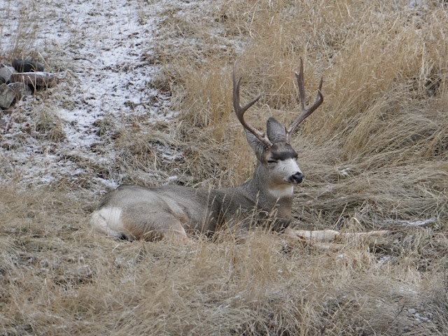 deer, animals, wildlife, Medicine Hat, Alberta