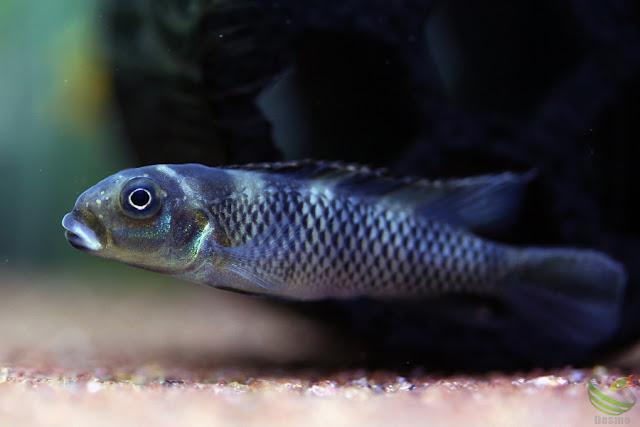 Nanochromis transvestitus(Wilhelm/Br.)