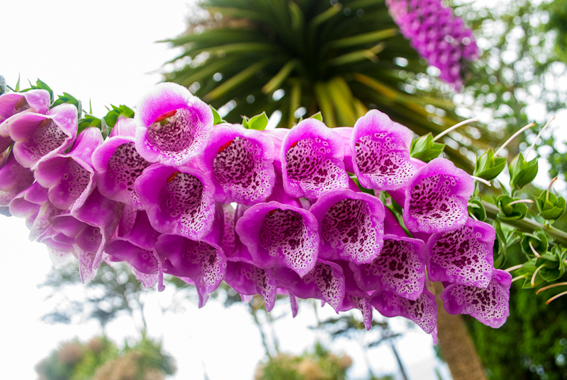 Close up image of purple bell shaped flowers in Falmouth, conrwall, England