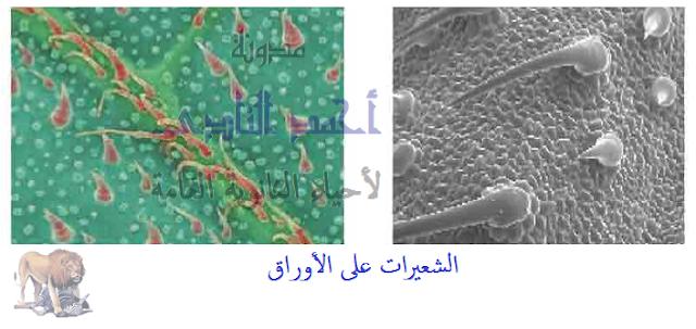 آليات المناعة التركيبية ( خط الدفاع الأول ) - تراكيب موجودة سلفاً فى النبات - الأدمة الخارجية - الشعيرات على الأوراق