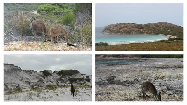 kangaroos, Lucky Bay