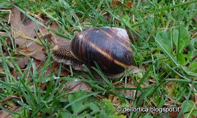 chiocciola o lumaca nel giardino della fattoria didattica dell ortica a Savigno Valsamoggia Bologna vicino Zocca