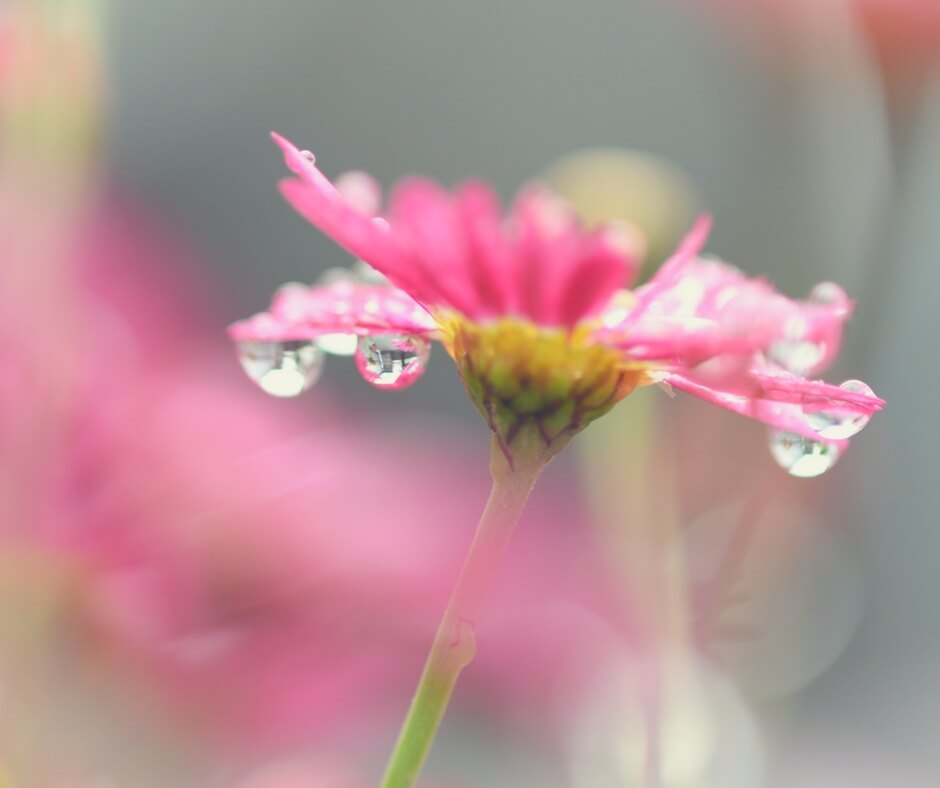 The camera is focussed on a pink flower with clear dew drops dropping from its petals. The background of the photo is a green and pink blur.