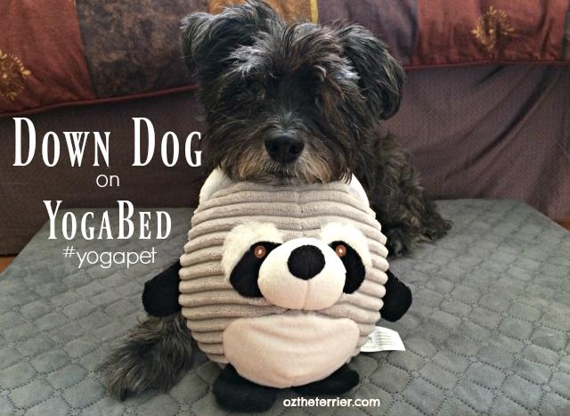 Oz down dog on #yogapet yogabed