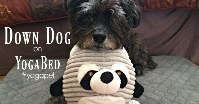 Down Dog On Yogapet Yogabed Oz The Terrier Lifestyle