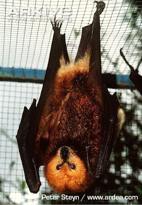 Greater Mascarene flying fox