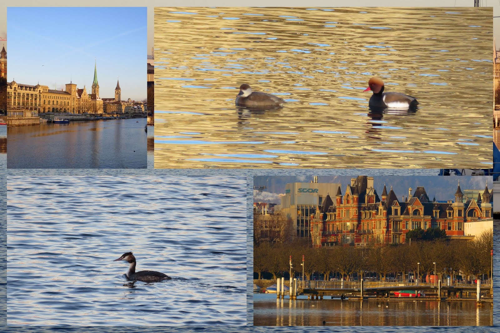 Zurich See with pochards and crested grebe at sunrise