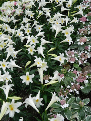 Centennial Park Conservatory 2018 Easter Flower Show pink lacecap Florist Hydrangeas and Easter Lilies by garden muses-not another Toronto gardening blog