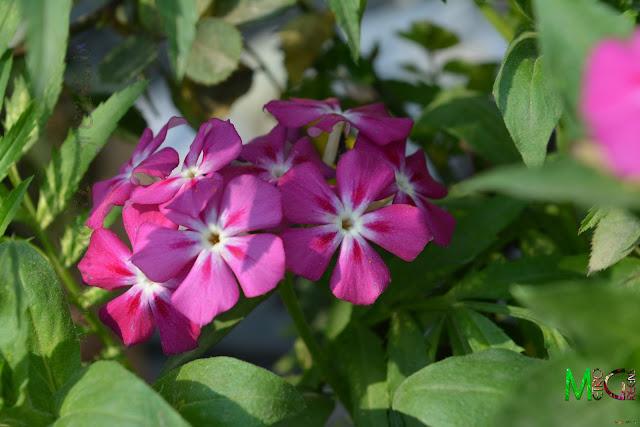Metro Greens: Phlox Blooms