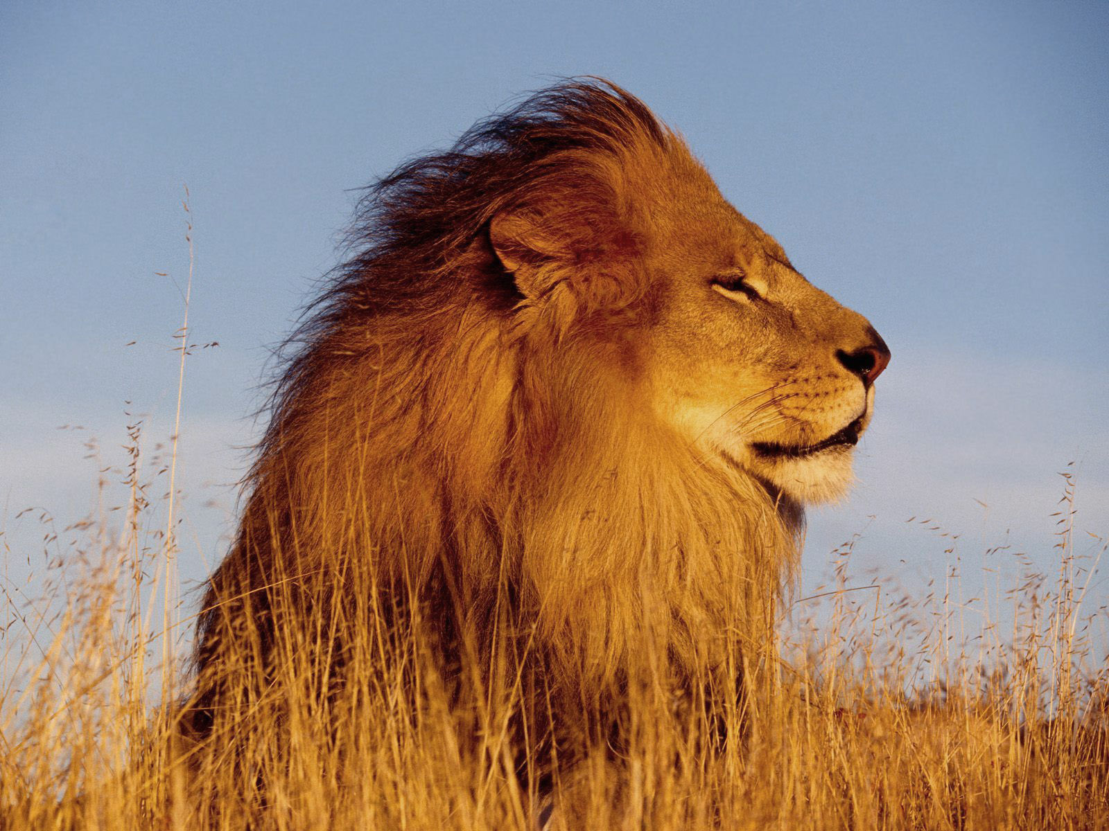 26 Beautiful & Amazing Lion (The King OF Forest) Wallpapers HD