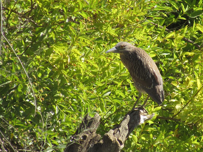 Juvenile Black-crowned Night-heron