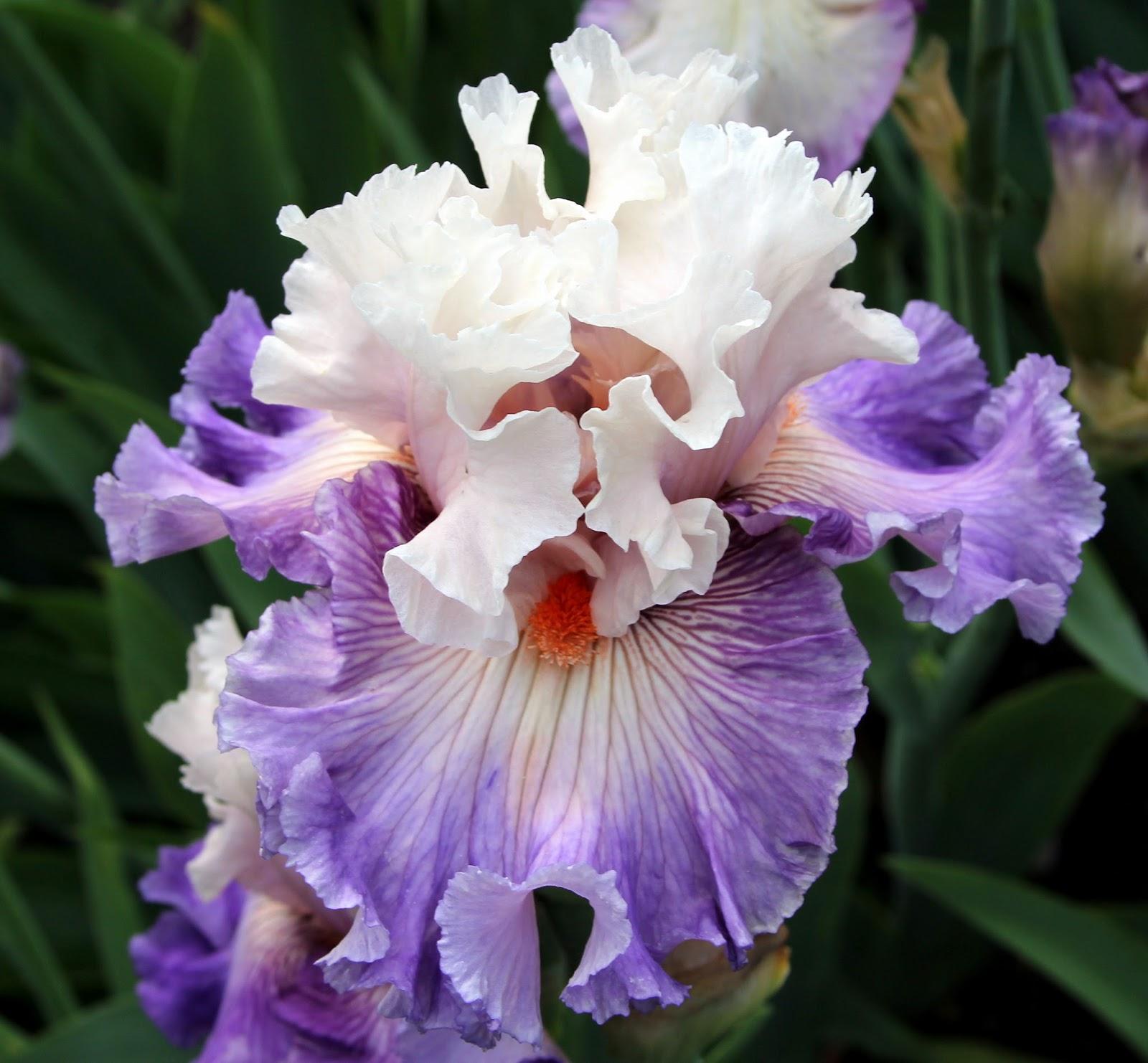 World Of Irises Quot Talking Irises Quot Tall Bearded Irises 2016 A Banner Year