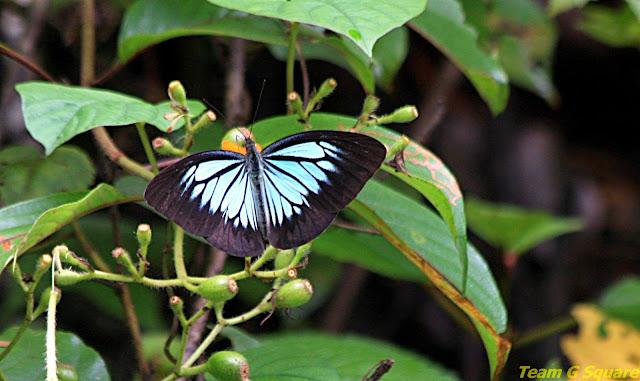 Dark wanderer Butterfly