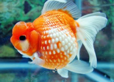 ikan koki ikan hias pengisi aquarium