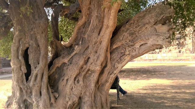 Ancient tree, heritage tree, heritage, qutub minar