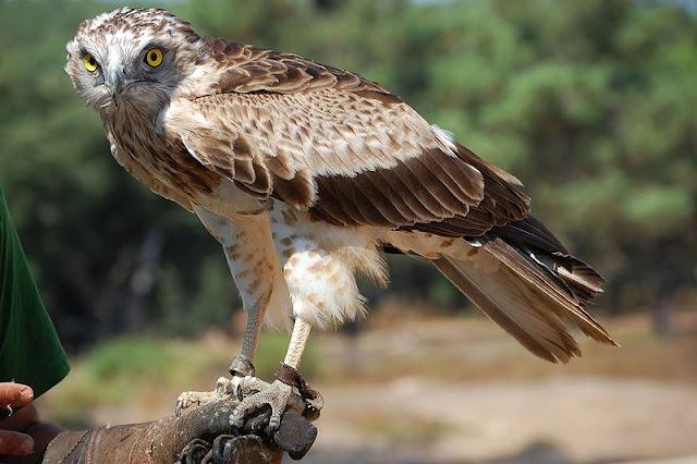 Resultado de imagem para aguia de asa redonda