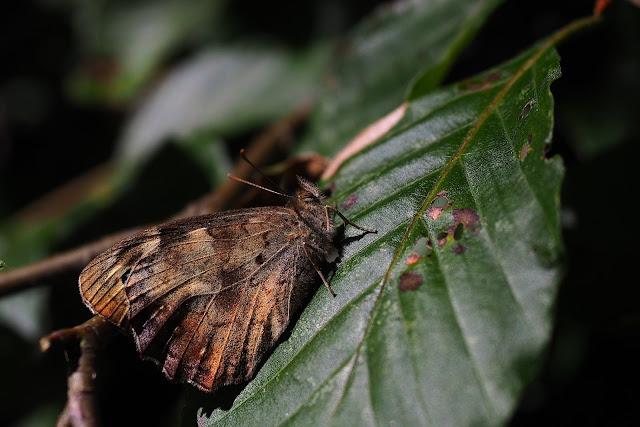 Ein Schmetterling mit hochgeklappten Flügeln