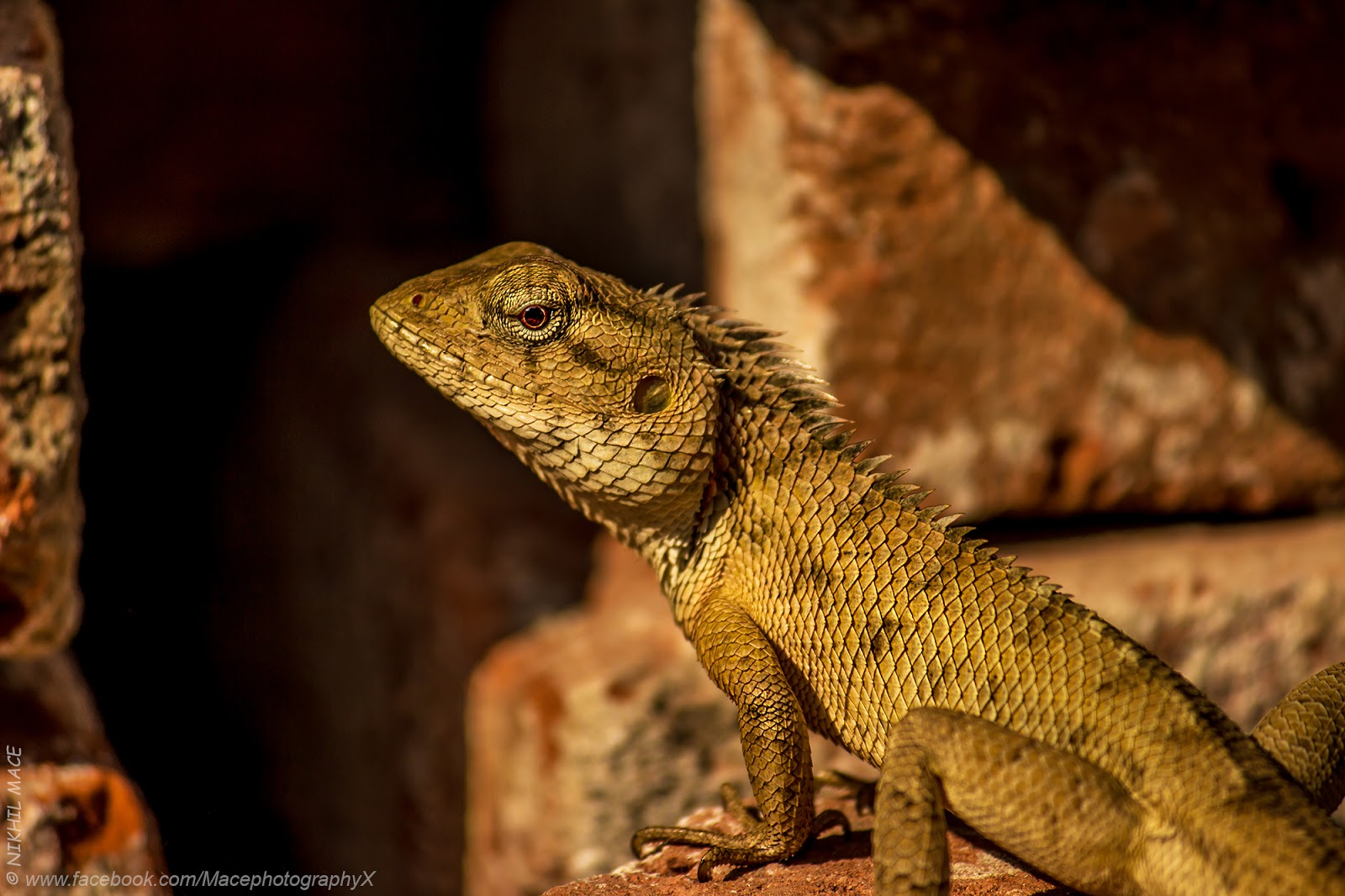 Nikhil Mace: Oriental Garden Lizard Photo by Nikhil (Mace ...
