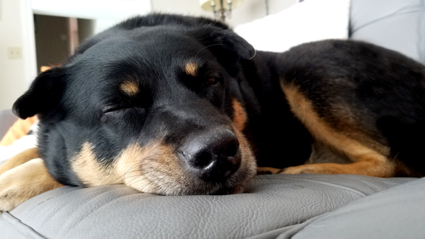 image of Zelda the Black and Tan Mutt sound asleep on the couch