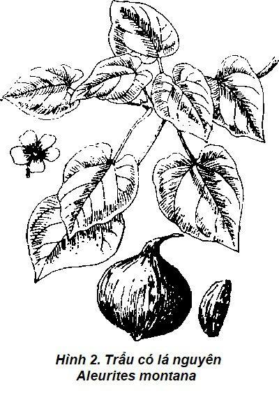 Hình vẽ 2 Trẩu - Aleurites montana - Nguyên liệu làm thuốc Có Chất Độc