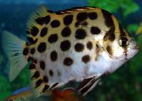 Ini Dia Ikan Hias Ruby Scat