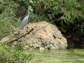 Kuba, La Arboleda, Rio Canimar, grauer, reiherartiger Vogel auf einem Ast über einem Teppich aus Wasserpflanzen, im Hintergrund liegt ein Kalkfelsen im Fluss.