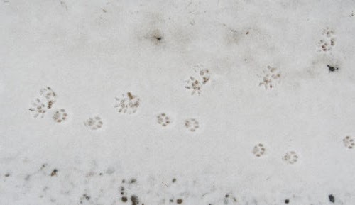 opossum and cat tracks