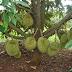 Cara Berkebun Durian di Perkarangan Rumah