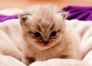 Tips Merawat Anak Kucing Persia Berdasarkan Umurnya