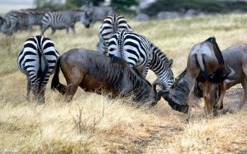 Wallpaper: Zebras and Wildebeests