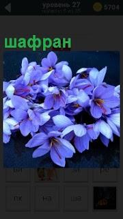 Растение голубого цвета шафран, в качестве пряности, самой дорогой в мире