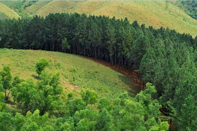 Pine Forest at Vagamon, Kottayam