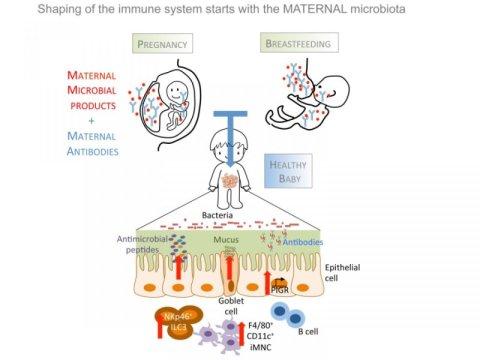 دراسة تُثبت أن الميكروبات المتعايشة في الأم أثناء الحمل تقوم بتشكيل الجهاز المناعي للطفل