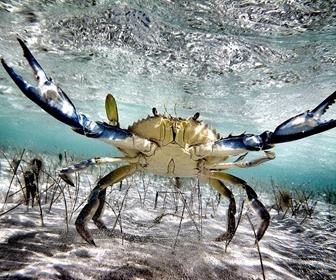 Kepiting, Bertahan Hidup dengan Capitnya