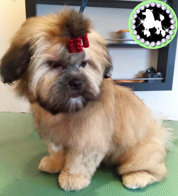 Lhasa Apso Dogs Groomed