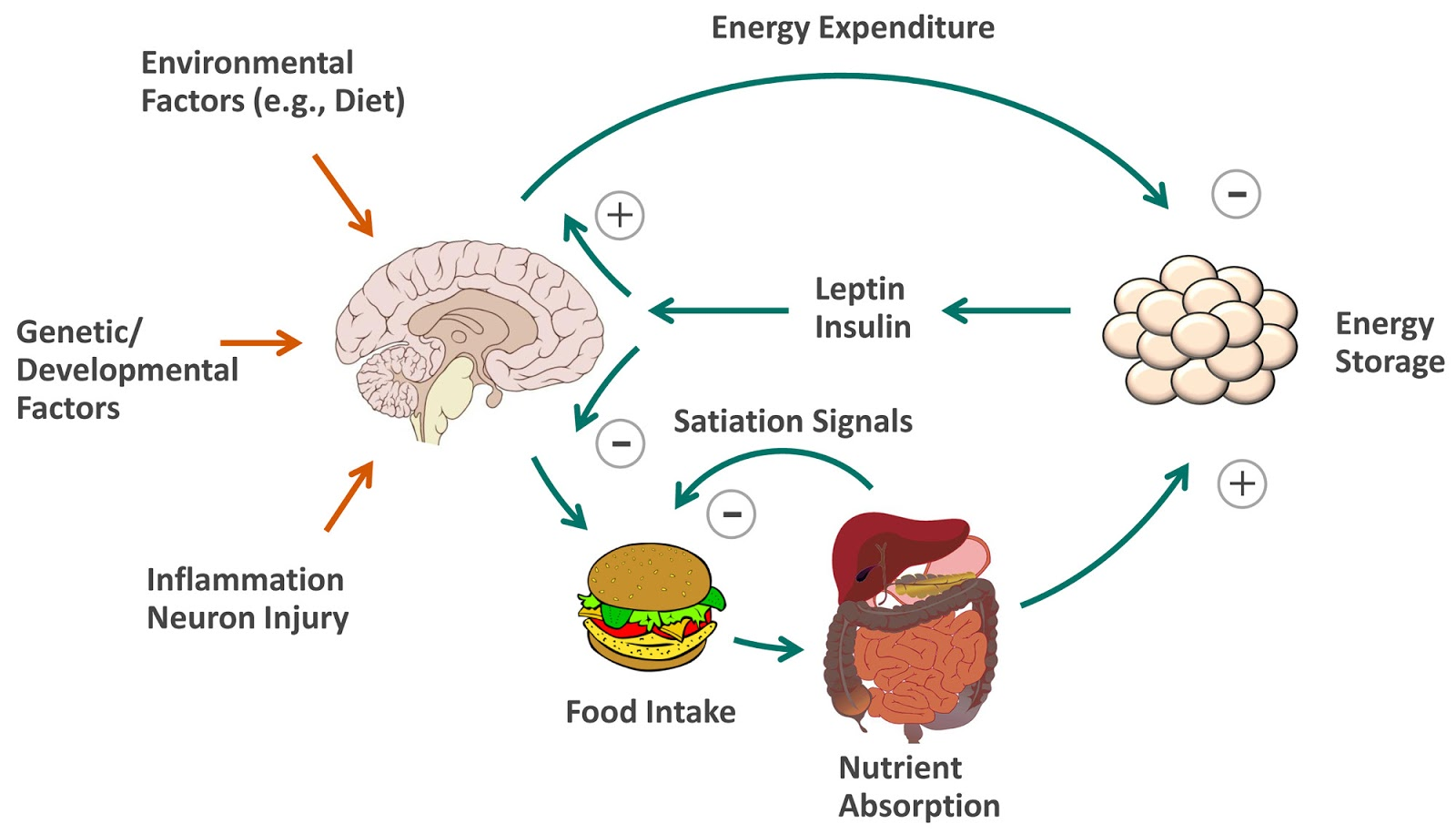 insulin and glucagon relationship weight loss
